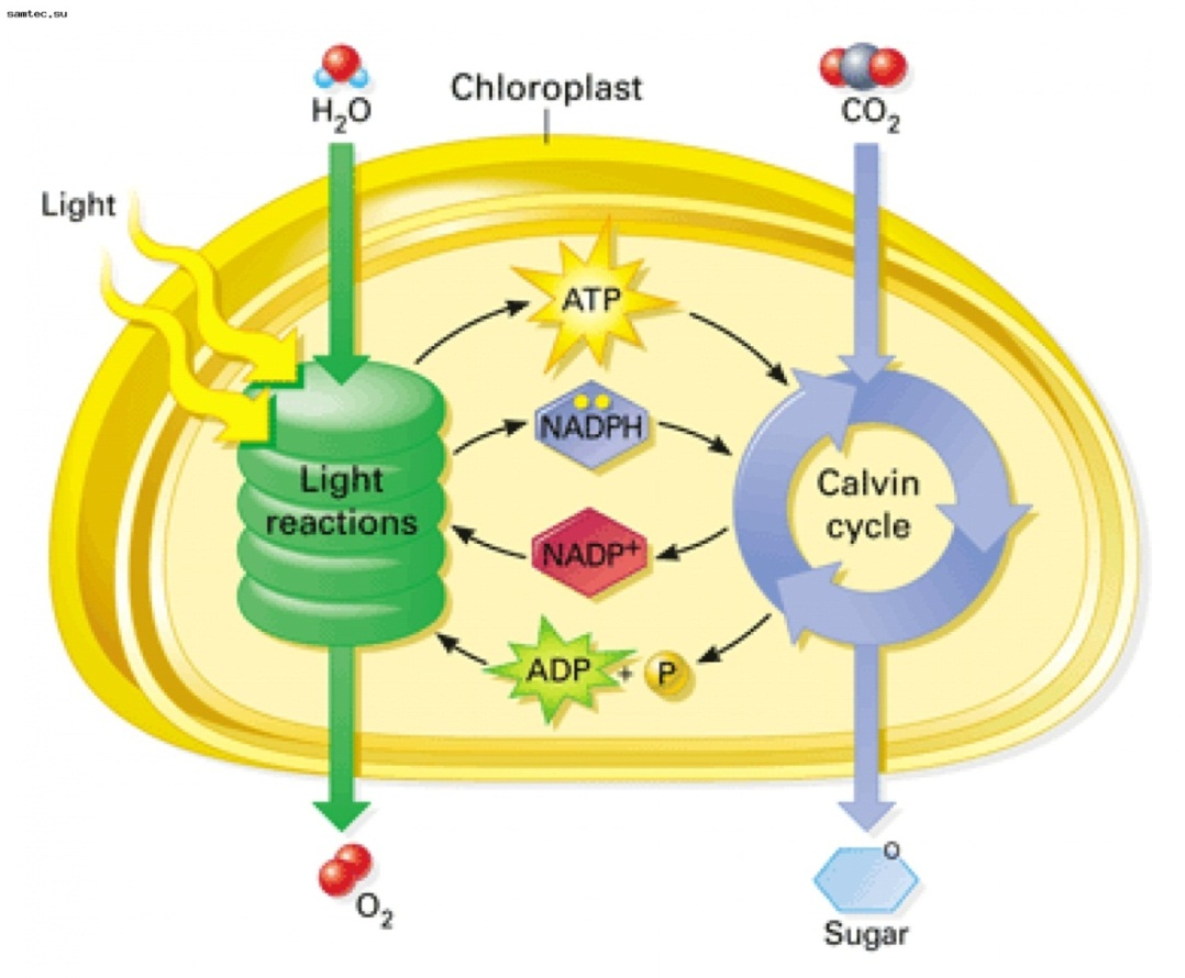 light cycle photosynthesis Photosynthesis is the process plants use to manufacture glucose it uses sunlight to make their own food from water and carbon dioxide photosynthesis occurs in plant.