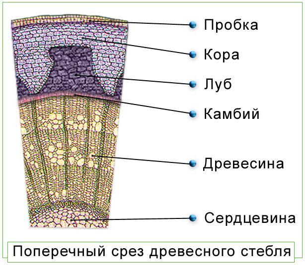 Что входит в древесину стебля