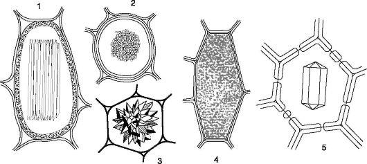 Кристаллы оксалата кальция