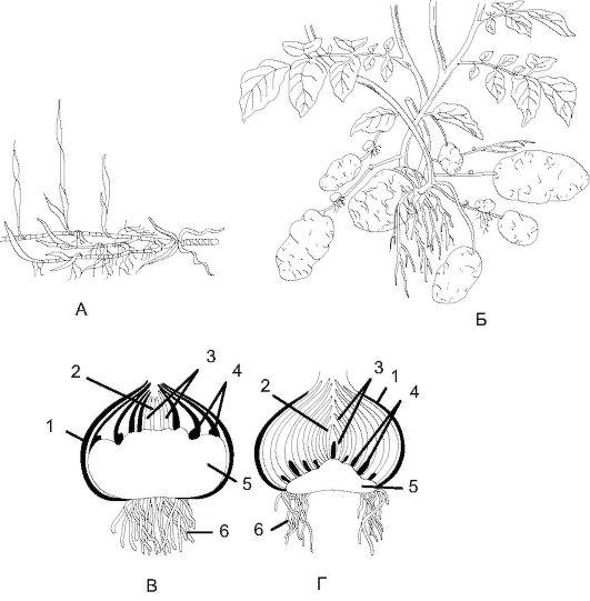 Метаморфоза побега стебля листья корня реферат