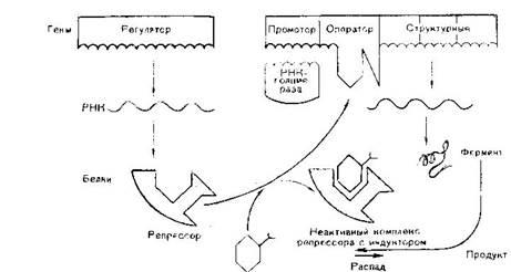 Физиологическая и репаративная регенерация. Виды, способы репаративной регенерации