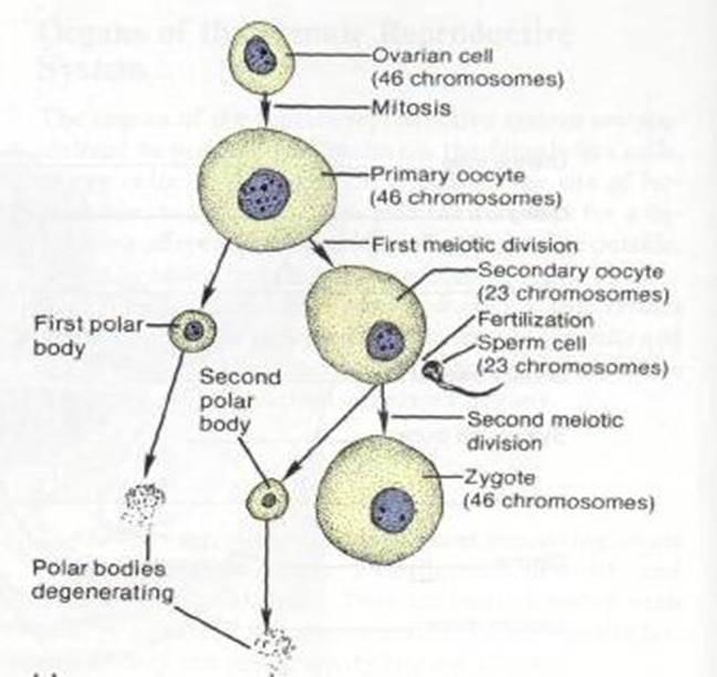 Сперматозоидам