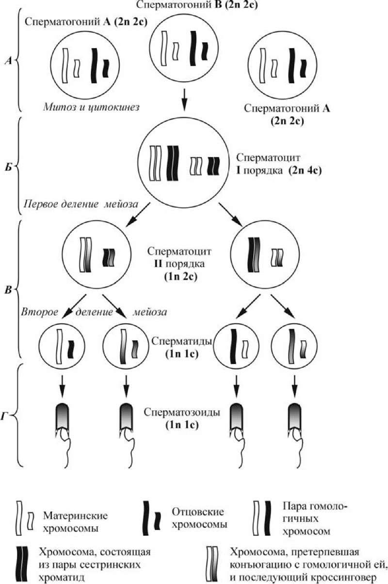 Фаза деления при сперматогенезе осуществляется