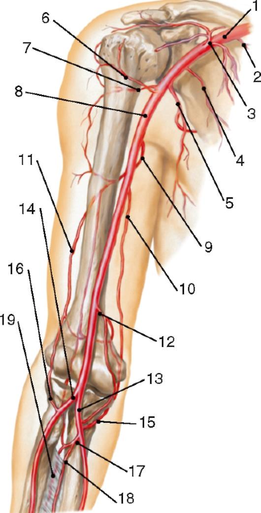 Схема суставов верхней конечности растяжения связок лучезапястного сустава руки