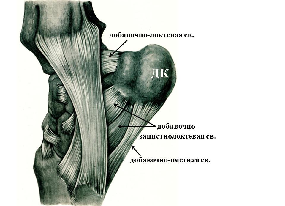 Связки суставов лошади рентгенограмма голеностопного сустава в прямой передней проекции