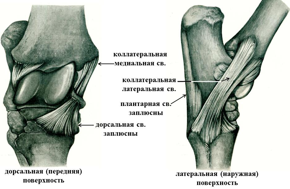 Плюсневый сустав крс - диагностика и лечение, питание, польза, проявления