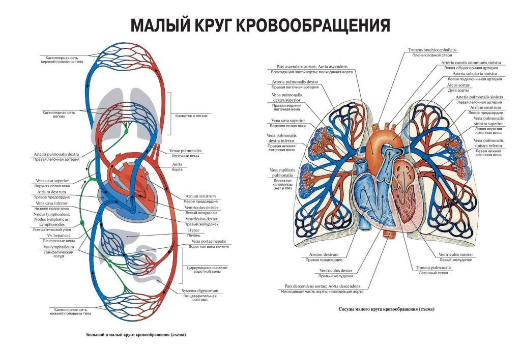 схема кровообращения в картинках все они