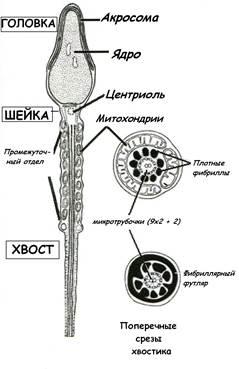 Функции зрелого спермия