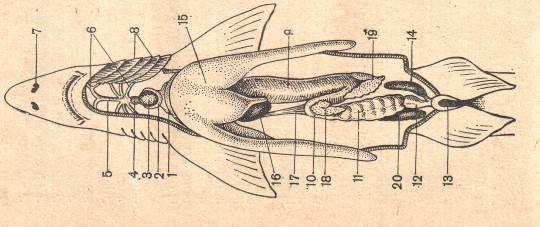 Хрящевые рыбы примеры