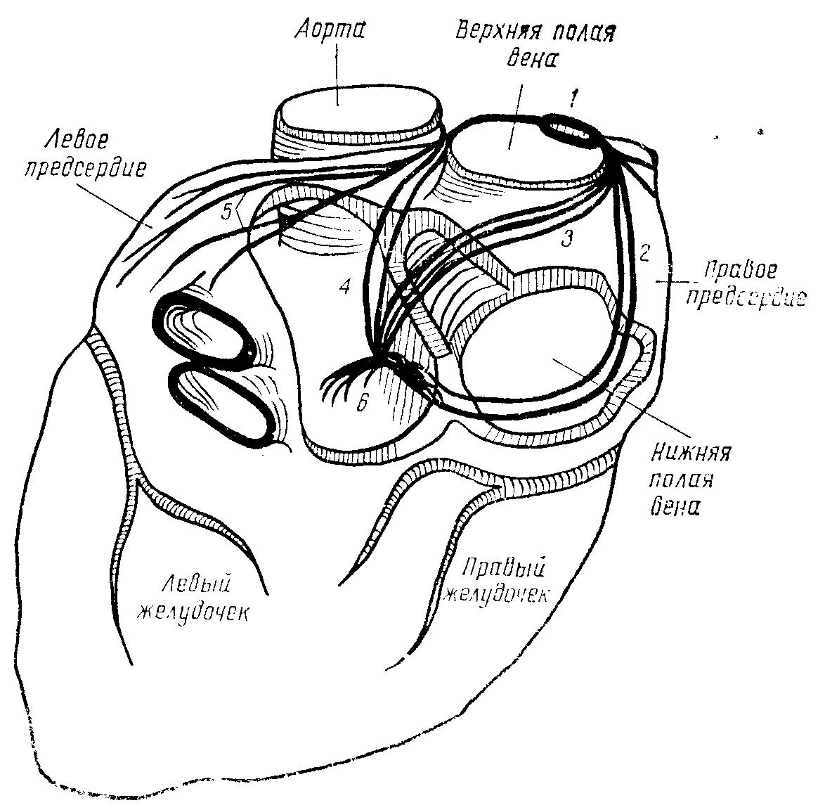 Атриовентрикулярный узел (предсердно-желудочковый, Ашоффа-Тавара)