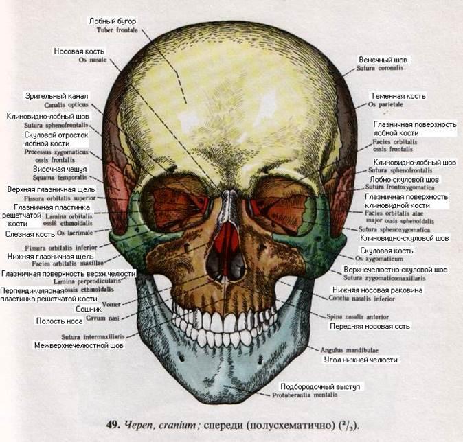 транзитной череп в картинках на латыни нем известно