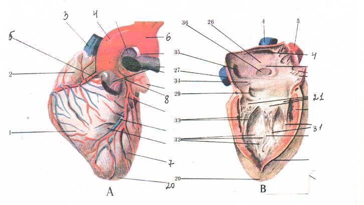 Створчатые клапаны сердца какие