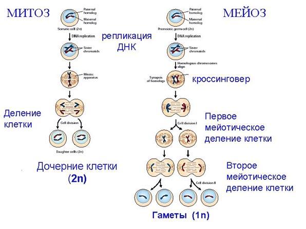 Митоз и его фазы схема