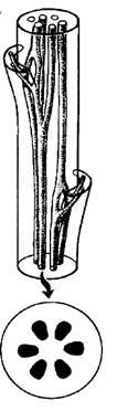 Вторичное строение стебля