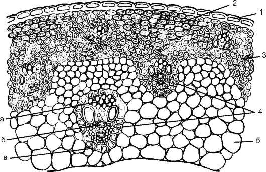Строение стебля ржи