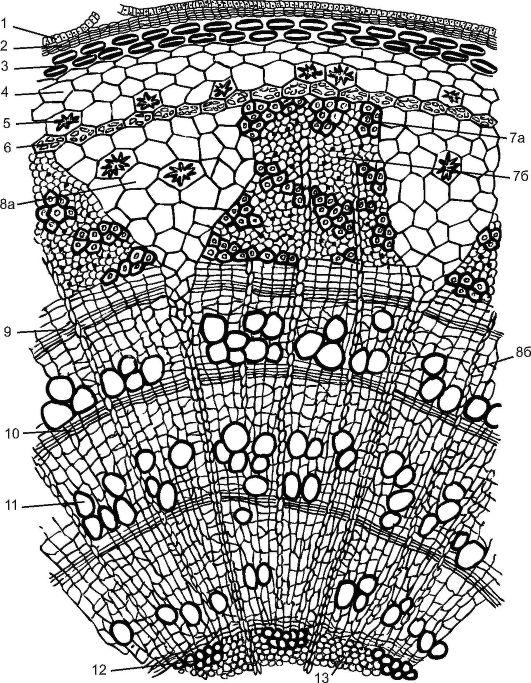 Какие клетки учавствуют в росте древесного стебля
