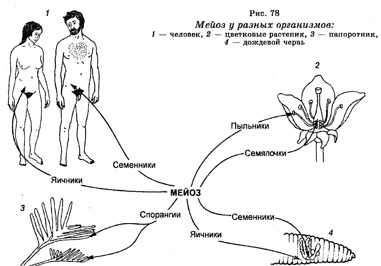 Сперматогенез оплодотворение у покрытосеменных растений