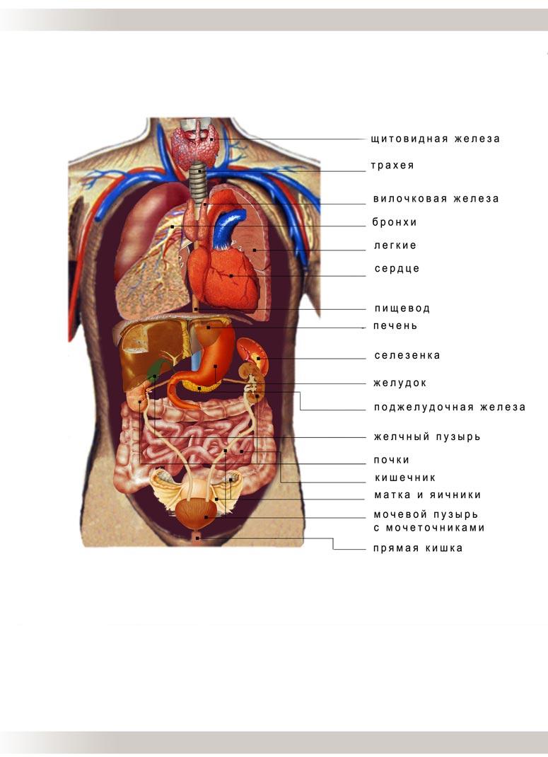 внутренние органы человека схема женщины