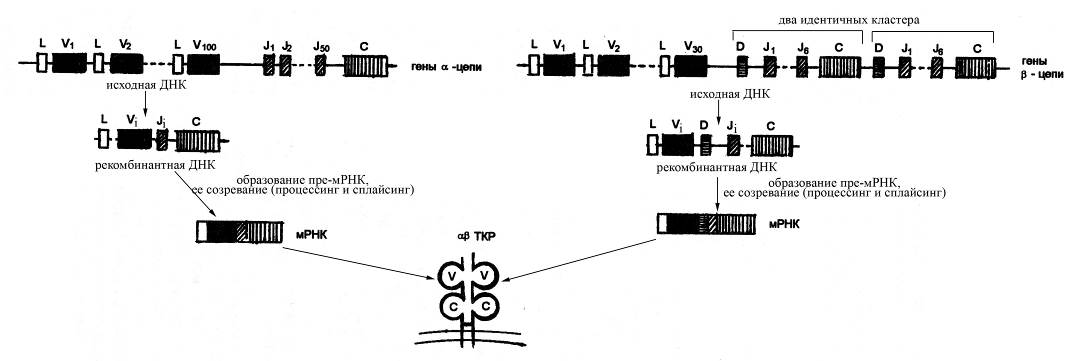 Рецептор Т-Клеточный