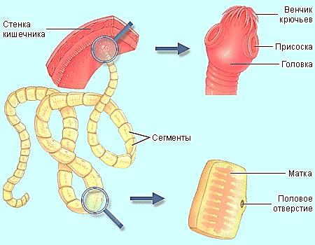 Как избавиться от плоских червей в домашних условиях